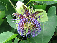 Passiflora maliformis1SHSU