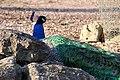 Pavão indiano repousa entre as pedras.jpg