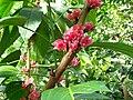 Pavonia cauliflora Goethea cauliflora 1.jpg