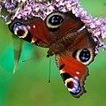 Peacock Butterfly (4916474840).jpg