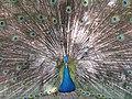 Peacock courtship ritual (7856491862).jpg