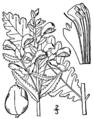 Pedicularis lanceolata BB-1913.png