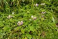 Pedicularis resupinata var. caespitosa 01.jpg