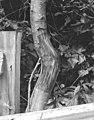 Peeled portion of an alder tree (56864).jpg