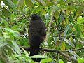 Penelope montagnii (Pava andina) (14274141763).jpg