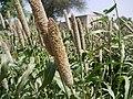 Pennisetum glaucum (4657009324).jpg