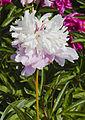 Peonía (Paeonia suffruticosa), Múnich, Alemania, 2012-06-07, DD 04.jpg