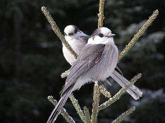 Perisoreus - Image: Perisoreus canadensis pair