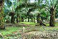 Perkebunan kelapa sawit milik rakyat (14).JPG