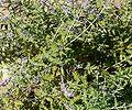 Perovskia atriplicifolia 1.jpg