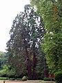 Perquie Ravignan 3 Séquoia.JPG