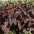 Persicaria microcephala 'Red Dragon' at Myddelton House garden, Enfield, London 02 (cropped).jpg