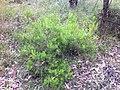 Persoonia pauciflora (6536443777).jpg
