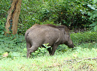 PeterMaas-India-MudumalaiNationalPark-WildBoar.jpg
