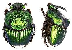 Phanaeus amithaon Harold, 1875 male (6036090756).jpg
