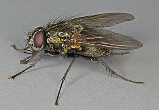 <i>Phaonia incana</i> species of insect
