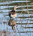 Pheasant tailed Jacana (Non-breeding) I2 IMG 8639.jpg