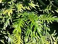 Philodendron xanadu AK1.jpg