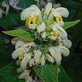 Phlomis russeliana 2015-06-20 3284.jpg
