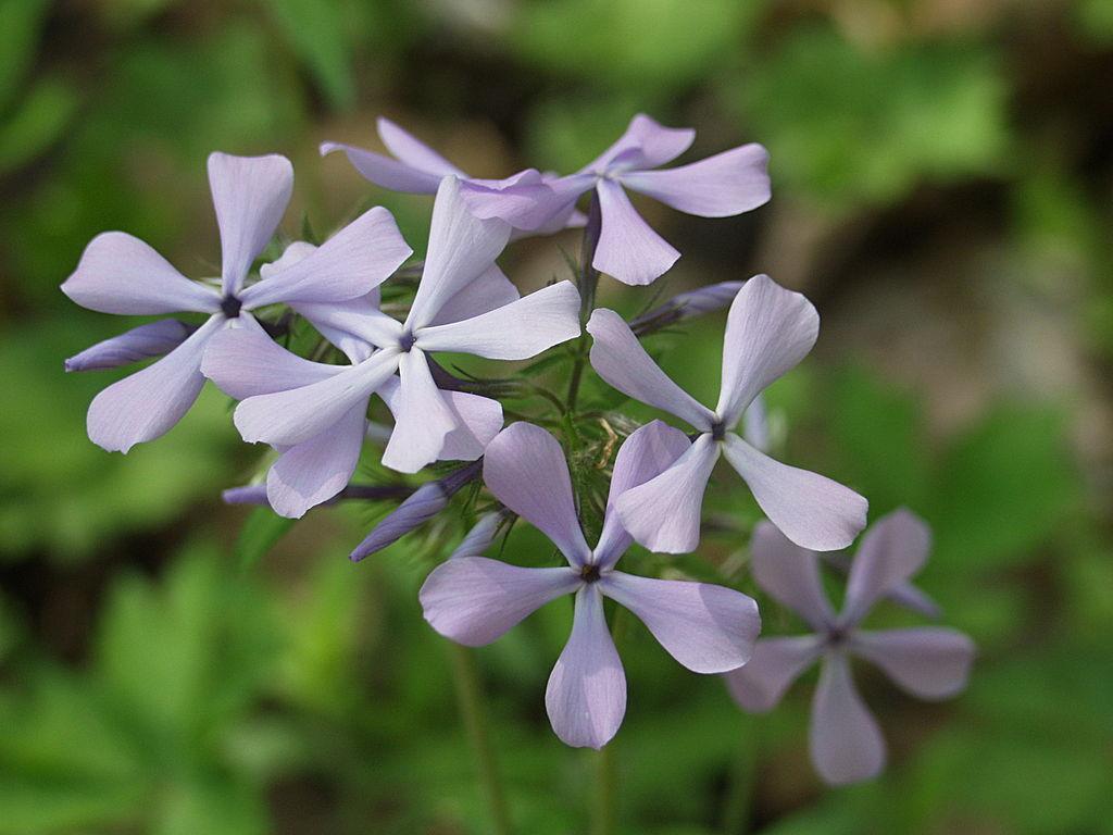 blue phlox phlox divaricata flora pittsburghensis. Black Bedroom Furniture Sets. Home Design Ideas