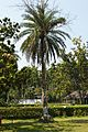 Phoenix dactylifera Enclosed with Ficus religiosa - Jagadispur - Howrah 2015-03-08 6523.JPG