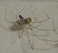 Pholcus phalangioides eating wasp 2.jpg