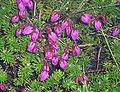 Phyllodoce caerulea001.jpg
