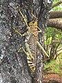 Phymateus viridipes, volwassene, Kililene, c.jpg