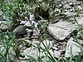 Physostegia virginiana ssp virginiana.jpg
