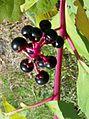 Phytolacca americana Carrboro NC.jpg