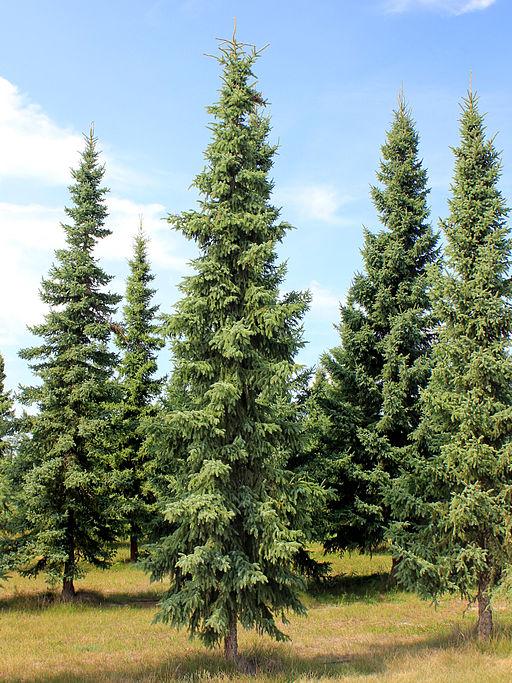 Picea mariana (Spruce black)