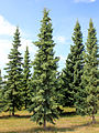 Picea mariana (Spruce black).jpg
