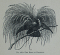 Picture Natural History - No 118 - The Bird of Paradise.png