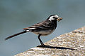 Pied (white) wagtail (Motacilla alba yarrellii) with insect.jpg