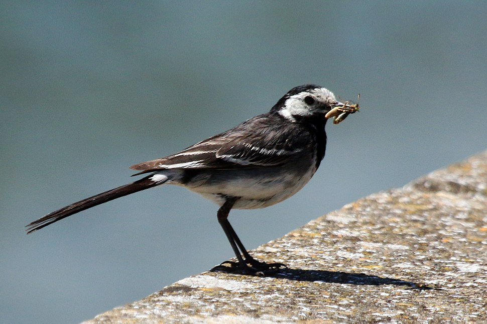 Pied (white) wagtail (Motacilla alba yarrellii) with insect