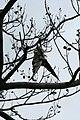 Pigeon pendu 1.jpg