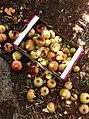 PikiWiki Israel 28890 the Pomegranate Season.jpg