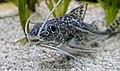 Pimelodus pictus - Engel-Antennenwels.jpg