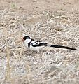Pin-tailed Whydah (Vidua macroura) male (32210698850).jpg