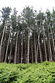 Pine plantation at Theydon Mount Essex England 01.jpg