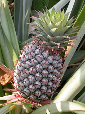 Crassulacean acid metabolism - The pineapple is an example of a CAM plant.