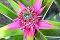 Pineapple Ornamental Plant.jpg