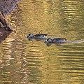 Pink-eared duck Burke River Boulia Queensland P1030481.jpg