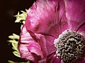 Pink Anemone (33617453).jpeg