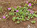 Pink Nyctaginaceae (Commicarpus pentandrus) (11587096744).jpg