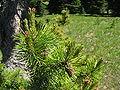 Pinus contorta subsp latifolia Grand Park 2.jpg