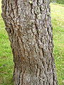 Pinus devoniana 04.jpg