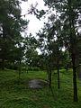 Pinus elliottii.jpg