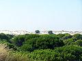 Pinus pinea habitat Doñana.jpg