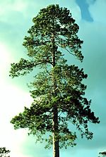 The Norway pine, Minnesota's state tree